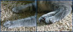 Kitty Feet (Millie) 17 June 2016 9646-9647 (edgarandron - Busy!) Tags: cats cute cat feline kitty kitties tabbies millie graytabby tbby