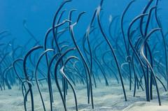 Garden eels (Ren Cazalens) Tags: bali indonesia underwaterphoto amed gardeneel heterocongrinae