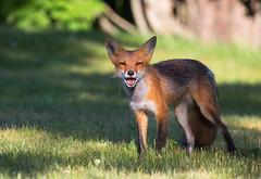 Pointy ears - EXPLORED (MAY 5, 2016) (JD~PHOTOGRAPHY) Tags: wild nature animal mammal wildlife fox wildanimal northamericanwildlife youngfox