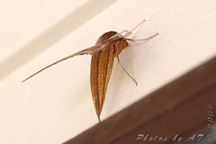 # 7890 – Xylophanes tersa – Tersa Sphinx Moth (Wildreturn) Tags: missouri moth mo mothsofmissouri mothsofmissourifieldguide mmfg moths usa stlouis lepidoptera insects insecta insect hodges7890 7890 xylophanes xylophanestersa tersasphinxmoth