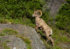 Rocky Mountain Bighorn Sheep (Happy Photographer) Tags: park nature climb wildlife national yellowstone horn ram rockymountainbighornsheep fullcurl amyhudechek nikon200500f56