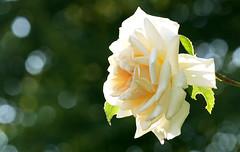 a single rose (Nicola G. Fotografie) Tags: rose summer garden bokeh backlight canon 55250 seppenrade rosengarten sommer gegenlicht weiss blume blte blossom flower