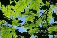 Openness: the spaces in-between (zinnia2012) Tags: light shade space jigsawshapes feuillage vert bleu ombre lumire blue green shadow ciel sky