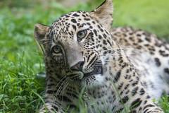 Persian leopard 2016-07-07-0458 (bzd1) Tags: panter nature animal mammal carnivore persianleopard leopard felidae cat bigcats panthera pantherapardusciscaucasia