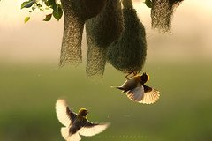 Baya Weaver (T@hir'S Photography) Tags: baya weaver nature bird nest sialkot wildlife wildbird getty istock image images animal tropical philippinus ploceus beauty beautiful leaf wild photography wilderness avian tree branch thailand birds natural nobody forest outdoors animals flying fly sunset light