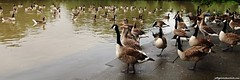 Canada Geese (Branta canadensis) and Greylag Geese (Anser anser) (Jeff G Photo - 2m+ views! - jeffgphoto@outlook.com) Tags: park lake bird water birds geese goose southpark waterfowl brantacanadensis anseranser southparkilford