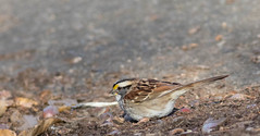 White-Throated Sparrow (Accipiter22) Tags: whitethroatedsparrow