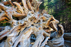 Uprooted (puffclinty) Tags: park mountain tree dead roots rocky national