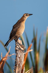 Juvenile Boat-tailed Grackle (Bill McBride Photography) Tags: quiscalusmajor boattailedgrackle boattailed grackle bird avian nature wildlife richgrissommemorial wetlands viera melbourne fl florida spring june 2016 canon eos 70d ef100400l