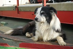 Ferry Dog Nak - Off Duty (Tom Willett) Tags: skye ferry scotland highlands isleofskye glenelg sleet kylerhea carferry glenachulish soundofsleet turntableferry mvglenachulish originalskyeferry