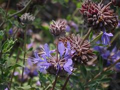 More Purple Flowers in Grand Park (Robb Wilson) Tags: grandpark losangeles downtownla