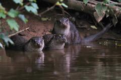 European Otter, Lutra lutra (9) (Geckoo76) Tags: otter lutralutra europeanotter