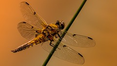 Libellule portrait (Yasmine Hens) Tags: gold europa flickr belgium dragonfly or sony ngc libellule namur hens yasmine wallonie brillant iamflickr flickrunitedaward sonyrx10m3 hensyasmine