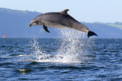 Moray Firth Dolphin (Ally.Kemp) Tags: wild point scotland jumping dolphin free scottish dolphins leaping breaching moray blackisle firth chanonry bottlenose fortrose kesslet