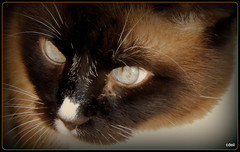 Cat Eyes (SuperDave!!) Tags: cat pussy kitty whiskers cateyes pussycat 2016 cdeii