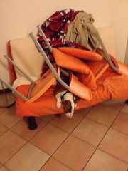 Obstacles (DanielOssino_EducatoreCinofilo) Tags: cane cani dog dogs bull terrier bullterrier mia divano sofa home casa chair sedia obstacle obstacles ostacolo ostacoli