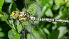 Dragon-Fly (w.lichtmagie) Tags: macro green garden insect outside dragonfly ngc grn makro libelle insekt garten canonefs60mm drausen platinumheartaward
