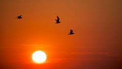 Sun Flight (imageClear) Tags: red sun hot color beauty birds wisconsin sunrise fly aperture nikon flickr dramatic sheboygan photostream bold bif bonapartesgull 80400mm d600 imageclear