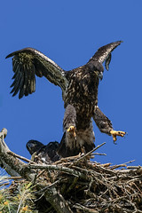 Jumping Eaglet (20160624-161702-PJG) (DrgnMastr) Tags: bravo cropped eagles baldeagles eaglets littlestories avianexcellence diamondclassphotographer flickrdiamond awesomebirds ia30 naturesspirit picswithsoul dmslair sunshinegroup grouptags allrightsreserveddrgnmastrpjg pjgergelyallrightsreserved