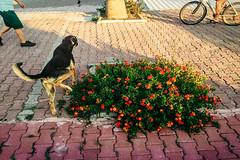 His opinion on flowers (Melissa Maples) Tags: cameraphone flowers dog beach apple animal bicycle turkey asia trkiye antalya prom stray peeing iphone konyaalt  iphone6 konyaaltbeach