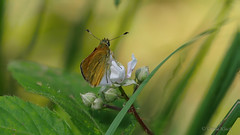Dickkopffalter auf Brombeerblte (Oerliuschi) Tags: butterfly natur panasonic insekt schmetterling schrfentiefe brombeerblte fluginsekt dickkopffalter lumixgx8