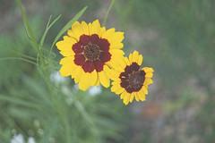 Summer Delight (kendoman26) Tags: flower macro coreopsistinctoria plainscoreopsis sonyalpha goldentickseed sal30m28 sonyslta58 sonya58