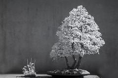 DSC_3920s (An Xiao) Tags: arboretum bonsai penjing