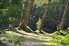 A green and inviting South Florida creek (jungle mama) Tags: southflorida florida creek seagrape australianpine mangrove archcreekeast biscaynebay northmiami archcreekeastenvironmentalpreserve coontie atala pupa ngc