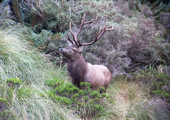 "NZH Wapiti 1 • <a style=""font-size:0.8em;"" href=""http://www.flickr.com/photos/143453492@N05/27972059165/"" target=""_blank"">View on Flickr</a>"
