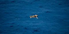 The Sea Turtle's Breath of Air (John Bense) Tags: ocean blue sea water animal swimming swim waves turtle wildlife shell wave atlantic seaturtle atlanticocean