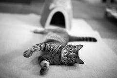 Cat (428sr) Tags: cat nikon hana neko   miaw