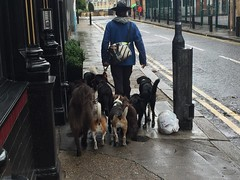A man of many dogs (Matt From London) Tags: dogs shoreditch walkies dogwalker