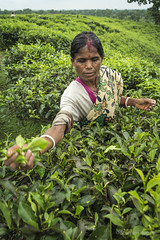 Srimangal-6287 (BohemianTraveler) Tags: asia tea bangladesh srimangal srimongol sreemangal