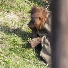 Pongo Abelii (Charliebubbles) Tags: nature mammal wildlife chester chesterzoo sumatranorangutan 2013 canoneos60d sigma120400mm