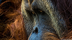 Letting you in (Robert Streithorst) Tags: cincinnati zoo zoosofnorthamerica robert streithorst orangutun