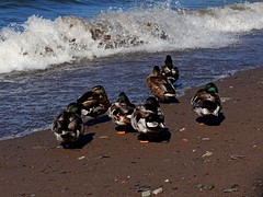 Attention ! - Watch out ! (Jacques Trempe 2,360K hits - Merci-Thanks) Tags: canada bird river vent duck quebec path stlawrence stlaurent sentier oiseau greve canard maree fleuve stefoy
