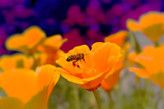 life (C-Smooth) Tags: flowers orange nature closeup bee poppies pollen macros californianpoppy papaveri papaveraceae eschscholtziacalifornica