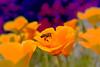 life (C-Smooth) Tags: flowers orange nature closeup bee poppies pollen macros californianpoppy papaveri papaveraceae eschscholtziacalifornica