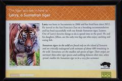 San Francisco Zoo 399 (Michael Fraley) Tags: sumatrantiger