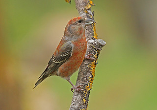 CROSSBILL....Male....Spain....Press L