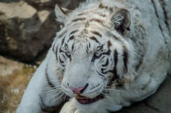 White tiger () Tags: china zoo dalian