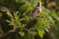 Goldfinch 12 (Bassman99) Tags: blackisle gardenbirds scottishwildlife