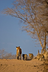 AS_000001648 (dickysingh) Tags: travel family wild india color nature vertical cat babies wildlife tiger young bluesky bigcat cubs predator rajasthan ranthambore noman bengaltiger ranthambhorenationalpark wwwranthambhorecom