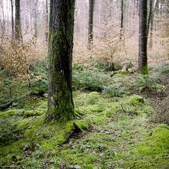 Green Roots III (M a r c O t t o l i n i) Tags: trees color 6x6 film nature zeiss forest square switzerland suisse kodak arbres epson mf 100 couleur forêt carré vaud distagon hasselblad500cm v700 vuescan epsonv700 epsonperfectionv700 greenroots marcottolini 6x6only distagon4050mm