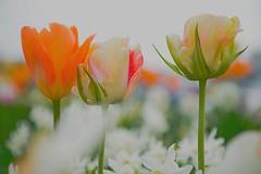 Tulips, softly (Carmen Tulum) Tags: spring tulips bokeh softcolors whitedaffodils