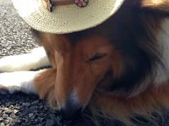 With my new hat (Pam Onodera) Tags: dog sheltie sheepdog  shetland