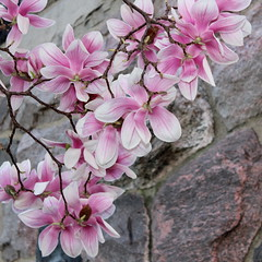 Magnolias, Square (marylea) Tags: pink flowers spring catholic michigan blossoms annarbor magnolia catholicchurch blooms magnolias stthomasaa stthomastheapostlecatholicchurch