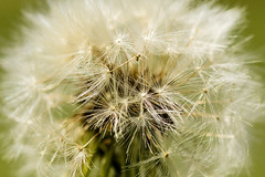19/52 - Dandelion Fluff (Meghan (Rambling On. . . )) Tags: macro closeup canon spring weed shiny dandelion week 60mm tamron silky 52 60d 52weeksofphotography