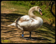 Brown Swan (mikesteph0) Tags: tree bird nature birds scenery outdoor wildlife foliage lr4