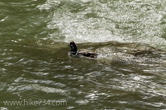 """Harlequin Duck male • <a style=""""font-size:0.8em;"""" href=""""http://www.flickr.com/photos/63501323@N07/8734393694/"""" target=""""_blank"""">View on Flickr</a>"""